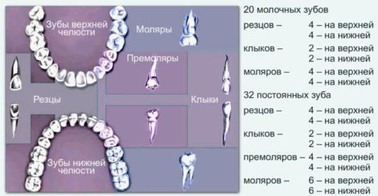 Нумерация и названия зубов